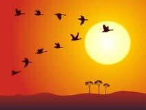 Vuelo salvaje del ganso en puesta del sol Imágenes de archivo libres de regalías