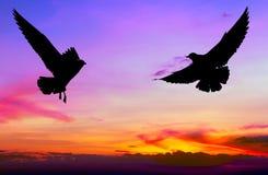Vuelo silueteado de dos gaviotas en la puesta del sol Imagen de archivo