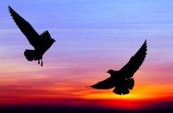 Vuelo silueteado de dos gaviotas en la puesta del sol Fotos de archivo libres de regalías