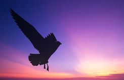 Vuelo silueteado de la gaviota en la puesta del sol Fotografía de archivo libre de regalías