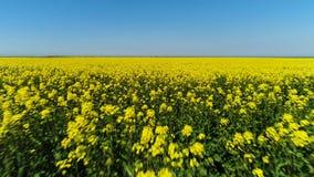 Vuelo sobre campo amarillo brillante imponente con un cielo azul en el fondo tiro Flores amarillas y troncos verdes metrajes