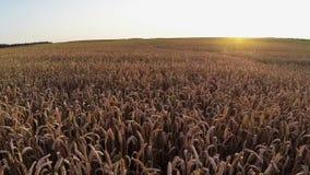 Vuelo sobre campo de la cosecha en la puesta del sol, visión aérea Foto de archivo