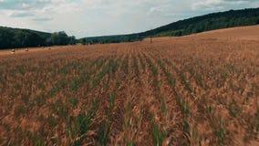 Vuelo sobre campo de maíz en la puesta del sol de oro, visión panorámica aérea 4K almacen de metraje de vídeo