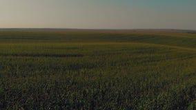 Vuelo sobre el campo de maíz verde en la antena de la puesta del sol del verano almacen de video