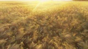 Vuelo sobre el campo de trigo de oro maduro en la salida del sol almacen de video