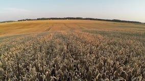 Vuelo sobre el campo de trigo, visión panorámica aérea Imagen de archivo libre de regalías