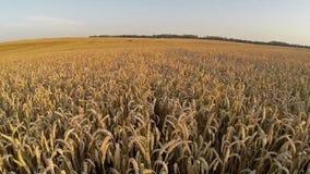 Vuelo sobre el campo en los colores de la puesta del sol, visión panorámica aérea de la cosecha Fotos de archivo libres de regalías