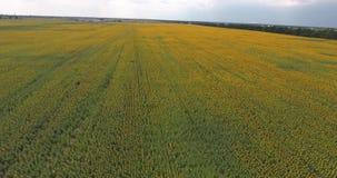 Vuelo sobre el campo seco Árbol en campo Movimiento de la cámara adelante Filas de girasoles metrajes