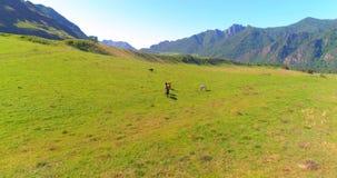Vuelo sobre la manada de los caballos salvajes en prado Naturaleza salvaje de las montañas de la primavera Concepto de la ecologí almacen de video