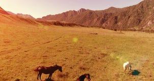 Vuelo sobre la manada de los caballos salvajes en prado Naturaleza salvaje de las montañas de la primavera Concepto de la ecologí almacen de metraje de vídeo