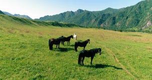 Vuelo sobre la manada de los caballos salvajes en prado Naturaleza salvaje de las montañas de la primavera Concepto de la ecologí metrajes