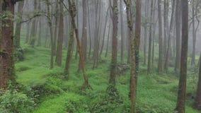 Vuelo a través de Misty Cypress Forest en el área escénica de Alishan con niebla y neblina en Taiwán Silueta del hombre de negoci almacen de video