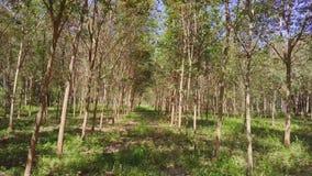 Vuelo a través del árbol de goma Forest AerialFlying Through Rubber Tree Forest Aerial almacen de metraje de vídeo