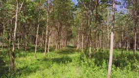Vuelo a través del árbol de goma Forest AerialFlying Through Rubber Tree Forest Aerial almacen de video