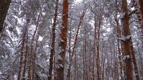 Vuelo a través del bosque de los pinos del invierno metrajes