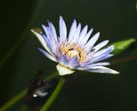 Vuelo y abejas de la abeja de la miel que recogen el néctar adentro profundamente del flor púrpura del loto Fotos de archivo libres de regalías