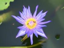 Vuelo y abejas de la abeja de la miel que recogen el néctar adentro profundamente del flor púrpura del loto Fotografía de archivo libre de regalías