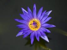 Vuelo y abejas de la abeja de la miel que recogen el néctar adentro profundamente del flor púrpura del loto Imagen de archivo