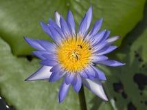 Vuelo y abejas de la abeja de la miel que recogen el néctar adentro profundamente del flor púrpura del loto Imágenes de archivo libres de regalías