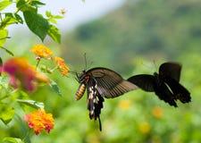 Vuelo y baile de la mariposa de Swallowtail antes Imagen de archivo libre de regalías
