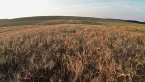 Vuelo y despegue bajos sobre el campo de trigo, visión panorámica aérea Fotos de archivo