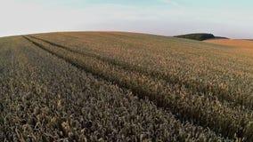 Vuelo y despegue sobre campo de trigo en la puesta del sol, visión panorámica aérea Foto de archivo
