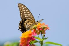 Vuelo y el introducir coloridos de la mariposa del swallowtail Imagenes de archivo