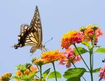 Vuelo y el introducir coloridos de la mariposa del swallowtail Fotos de archivo