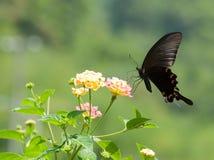 Vuelo y el introducir de la mariposa Foto de archivo