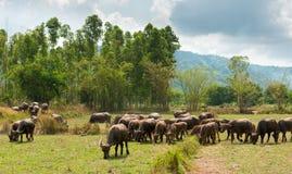 Vuelta de la gente al búfalo Foto de archivo