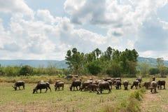 Vuelta de la gente al búfalo Fotografía de archivo libre de regalías