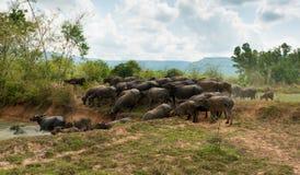 Vuelta de la gente al búfalo Fotos de archivo libres de regalías
