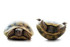 Vuelta de la tortuga para arriba fotografía de archivo libre de regalías