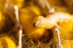 Vuelta del gusano de seda un web para el capullo fotos de archivo