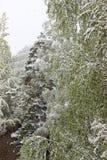 Vuelta del invierno, nevadas Hojas grandes verdes del covere de los abedules Imágenes de archivo libres de regalías