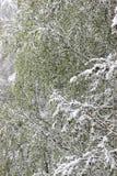 Vuelta del invierno, nevadas Hojas grandes verdes del covere de los abedules Imagenes de archivo