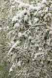 Vuelta del invierno, nevadas Hojas grandes verdes del covere de los abedules Fotos de archivo