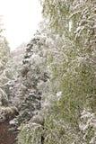 Vuelta del invierno, nevadas Hojas grandes verdes del covere de los abedules Fotos de archivo libres de regalías