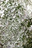 Vuelta del invierno, nevadas Hojas grandes verdes del covere de los abedules Imagen de archivo libre de regalías