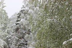 Vuelta del invierno, nevadas Hojas grandes verdes del covere de los abedules Foto de archivo libre de regalías