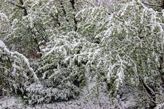 Vuelta del invierno, nevadas Hojas grandes verdes del covere de los abedules Imagen de archivo