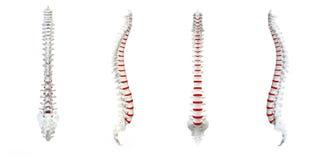 Vuelta humana de la espina dorsal libre illustration