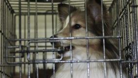 Vuelta que espera del perro activo e inteligente de Sheltie para a la adopción en el petshelter metrajes