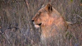 Vueltas del león para mirar la cámara almacen de metraje de vídeo