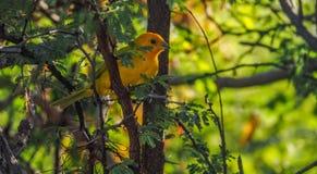 Vues du Curaçao d'oiseau de fauvette jaune Images libres de droits