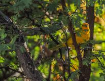 Vues du Curaçao d'oiseau de fauvette jaune Image stock
