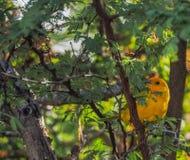 Vues du Curaçao d'oiseau de fauvette jaune Photo stock