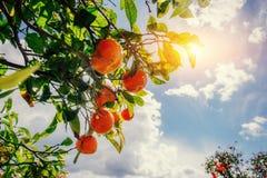 Vues fantastiques des belles espèces d'arbre en Italie sicily Image libre de droits