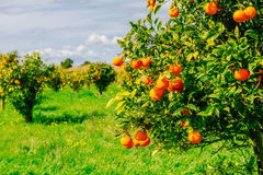 Vues fantastiques des belles espèces d'arbre en Italie sicily Images stock