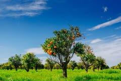 Vues fantastiques des belles espèces d'arbre en Italie sicily Photographie stock libre de droits